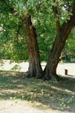 osage-orange-tree