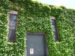 33-mayflower-ivy_