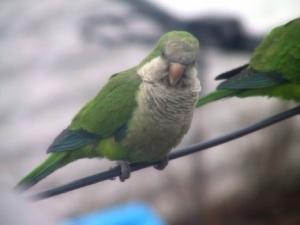 parrots025