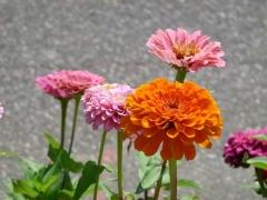 58-st_-johns_-flowers