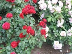 09-rose_