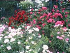 10-rose_