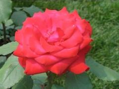 13-rose_