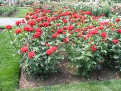 14a-rose_