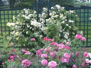 07-rose_