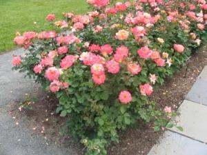 08-rose_
