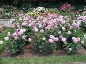16-rose_