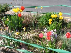 14-tulips