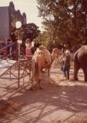 ovington-camels