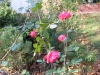 rose-rose2_