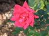 rose-rose_