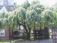 69-gatehouse-weepingbeech