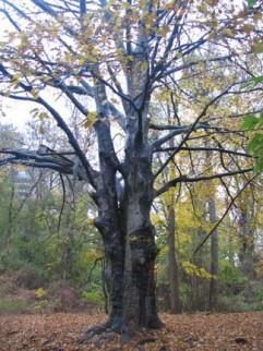 wallenbergtree