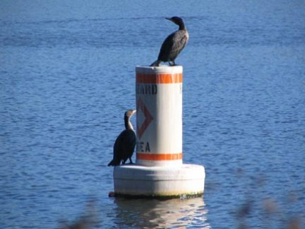 21.cormorants