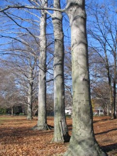 34.grove.poplar2