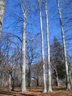 35.grove.poplar3