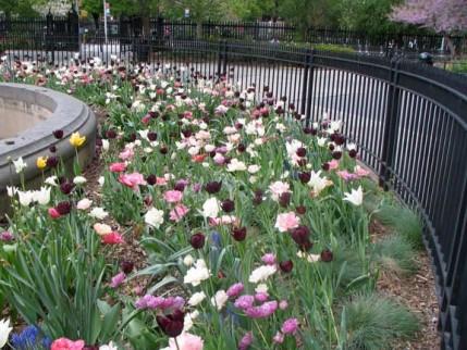 49.tulips