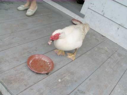 58.muscovy.duck