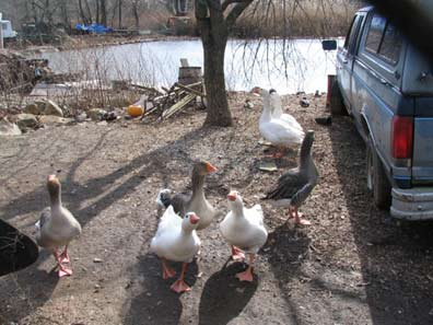 70.rv.geese