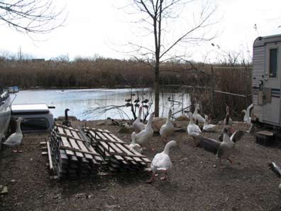 71.rv.geese