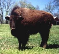 buffalo_bison2